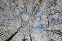 Frozen Beech forest in the winter_look upwards.