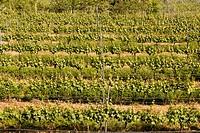Landscape of an italian large vineyard