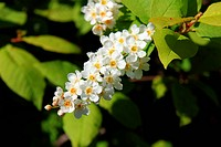 A close up of flowering Bird Cherry Prunus padus.