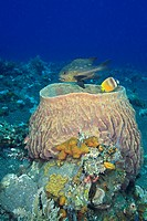 A Midnight Snapper, or Seaperch, Macolor macularis, and a Blacklip Butterflyfish, Chaetodon kleinii swimming above a large Barrel Sponge, Xestospongia...