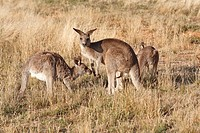 Three Eastern Grey Kangaroos, Macropus giganteus  There is a larger male, or buck, in the centre and his erect penis can be clearly seen  These are wi...