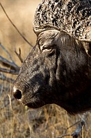 An African Buffalo, close_up headshot