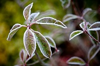 Leaves covered in frost, close_up