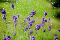 Water drops falling on lavender flowers