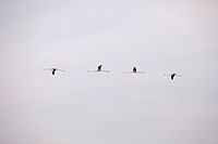 Four Greater Flamingoes flying in a row