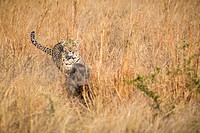 A leopard chasing a warthog through tall grass
