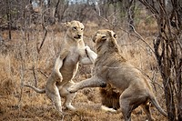 Two female lions playing (thumbnail)