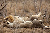 A male and female lion lying side by side