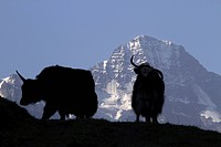Two mountain goats silhouetted, focus on Breithorn Mountain in background