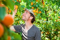 A man picking an apricot off an apricot tree (thumbnail)