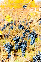 red grapes in vineyard, Czech Republic