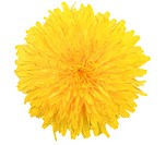One yellow flower of dandelion isolated on white background. Close_up. Studio photography.