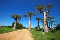 A dirt road on either side of Adansonia grandidieris, Avenue of the Baobabs, Madagascar