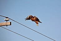 Swainson´s Hawk preparing to land on power pole