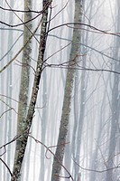 Hazy winter forest
