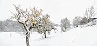 Winter apple trees on snowy landscape (thumbnail)