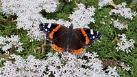 Red Admiral butterfly Vanessa Atalanta, sits on apple blossom flowers in Springtime