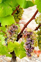 white grape in Sauternes Region, Aquitaine, France