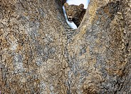 A Leopard in a tree, Okavango Delta, Botswana