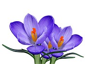 spring crocus flowers over white background