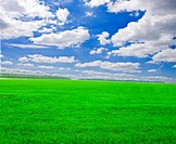 a lot of green wheat under blue sky