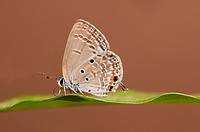 Chilades Pandava butterfly perching on a leaf