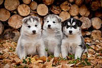 Siberian Husky puppies sit in Autumn leaves in front of a stack of firewood logs, Alaska