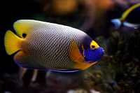 tropical fish floats in the aquarium, Euxiphipops xanthometapon