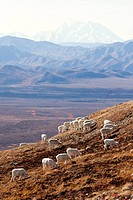 A band of Dall sheep ewes and lambs graze on a hillside in Denali National Park and Preserve with Mt. McKinley in the background, Interior Alaska, Aut...