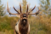 CAPTIVE: Close up of a Rocky Mountain bull elk bugling during Autumn rut, Alaska Wildlife Conservation Center, Southcentral Alaska
