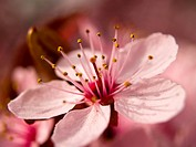Macro of a Pink Blossom from a Tree