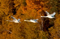 Three swans in flight over Potter Marsh with Fall colors in background, Anchorage, Southcentral Alaska