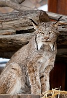 CAPTIVE: Close up of a Lynx at the Alaska Wildlife Conservation Center, Southcentral Alaska, Summer
