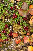Close up of Low Bush cranberry and Dwarf Birch provide colors to the alpine tundra, Denali National Park & Preserve, Interior Alaska, Autumn