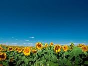 Sunflower field in Colorado.