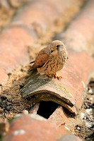 Female of Lesser Kestrel Falco naumanni next to his nest, in Quintana de la Serena  Badajoz  Extremadura  Spain
