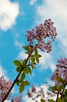Paulownia is a genus plants in the monogeneric family Paulowniaceae