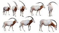 Scimitar_Horned Oryx antelope, extinct in the wild
