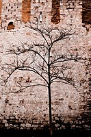 A lonely and withered tree behind the wall of Topkapi Palace