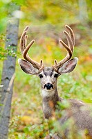 Portrait of mule deer buck Odocoileus hemionus with velvet antler staring from the woods.