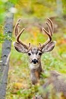 Portrait of mule deer buck Odocoileus hemionus with velvet antler staring from the woods.