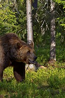 Male brown bear Ursus Arctos in a forest clearing