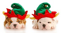 english bulldog puppies dressed up like christmas elf with reflection on white background