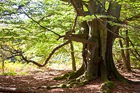 Urwald Sababurg primeval forest, Reinhardswald, Hesse, Germany, Europe