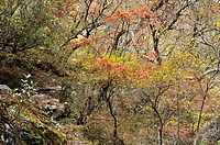 Rhododendron Forest.Phortse, Sagarmatha National Park UNESCO World Heritage Site