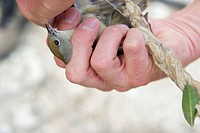 Blackcap (Sylvia atricapilla), illegally trapped on limestick for use as ambelopulia, Cyprus