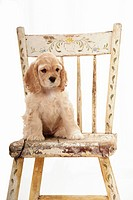 Cocker spaniel puppy on chair.