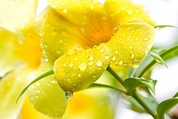 Golden Trumpet Vine after the Rain with Text Space