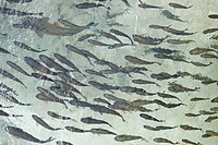 Fish swarm.School of Common Roach, Plitvice Lakes National Park, Croatia
