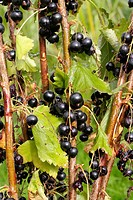 Bunch of ripe Black currants shrub plant